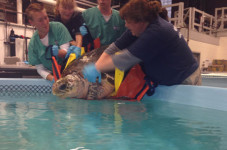 What Will They Name The Sea Turtle Rescued In Brewster?