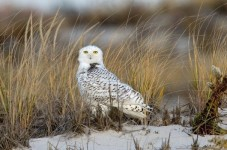 Cape Cod Beaches Are Overrun With Arctic Snowy Owls
