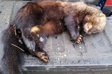 Rare 'Vicious' Fisher Cat Found In Mashpee - Hide Ya Kids, Hide Ya Pugs!