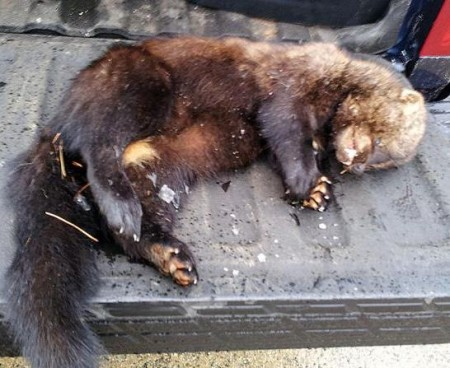 Rare 'Vicious' Fisher Cat Found In Mashpee - Hide Ya Kids, Hide Ya Pugs! - The Real Cape