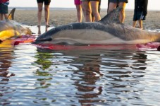 4 of 5 Stranded Dolphins Rescued In Provincetown