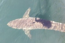 Huge Great White Shark Spotted In Cape Cod Bay - VIDEO
