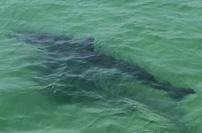 GET OUT OF THE WATER! Great White Tagged Off Cape, plus UNREAL WHOI Video