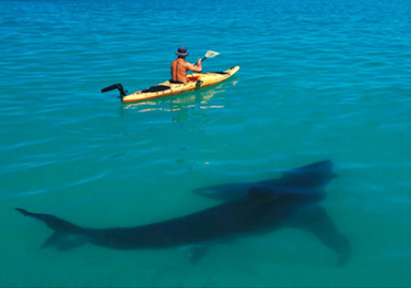 kayak shark
