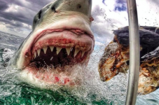 State Issues Emergency White Shark Regulations - Where's The Human Regulations?