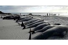 Today In Cape Cod History - 94 Whales Beached In Eastham Euthanized In 1984