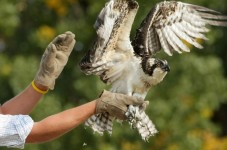 Injured Osprey Can't Fly South So They Put It On A Plane... Wait, What?