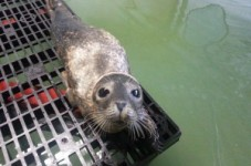 Scout The Baby Seal Was Released Back Into The Ocean - Good Idea?