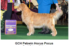 Hocus Pocus, A Golden Retriever From Marstons Mills, Winner At Westminster