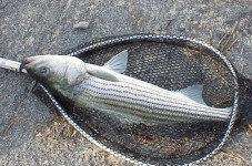 State Lowers Striped Bass Limit To One Fish