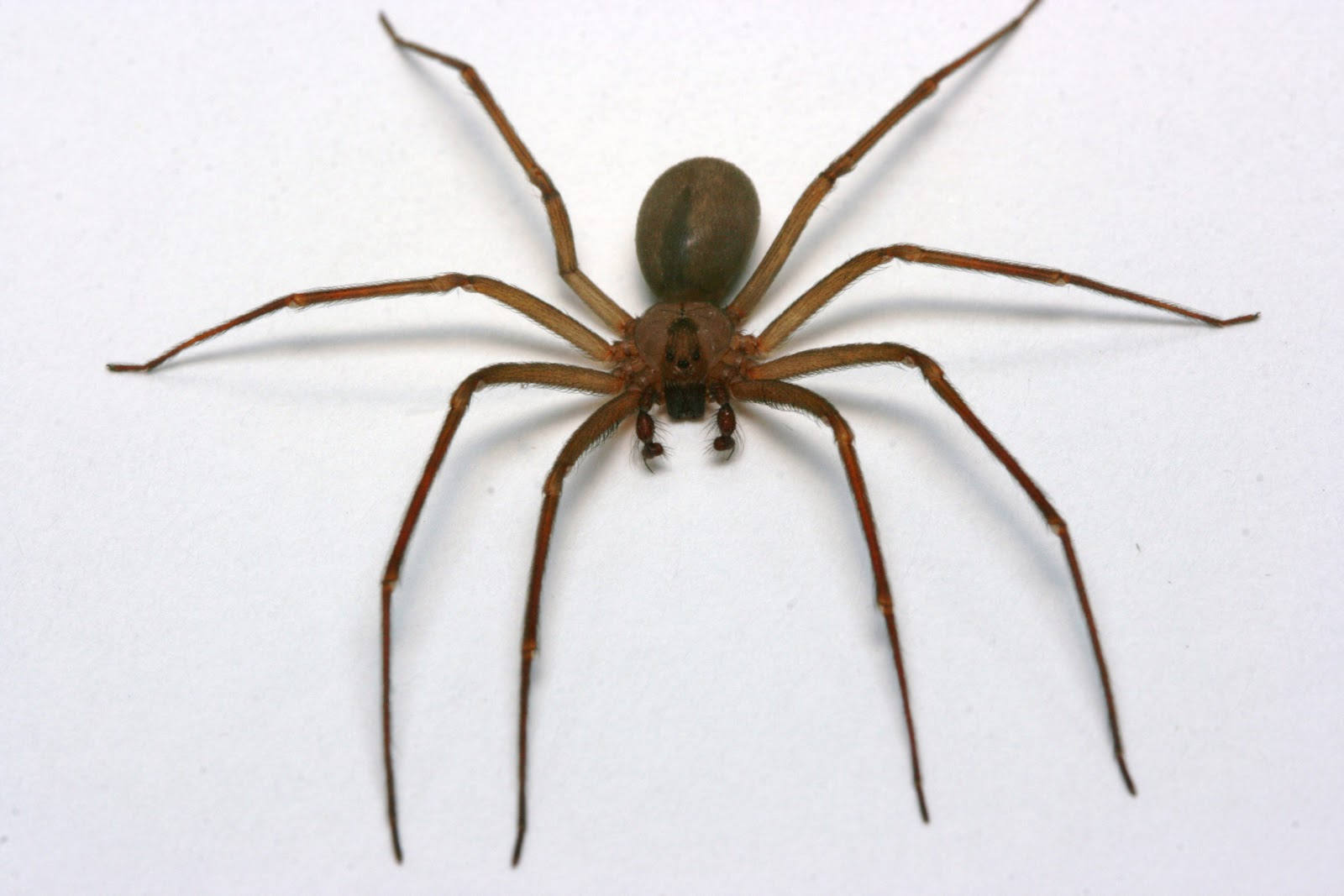 Superior Spiders Of Cape Cod Part - 4: Brown Recluse Vineyard