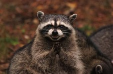 Raccoon On The Loose On Nantucket (There's Usually No Raccoons On Nantucket?)