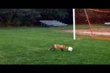 VIDEO: Rising Theft Rates On Cape Cod - Foxes Stealing Soccer Balls Now