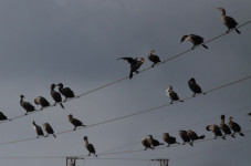 Eversource To Move Power Lines Due to Cormorants Pooping Off Them Incessantly