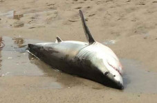 Shark Tries To Come On Land In Chatham, People Promptly Rescue The Murderer