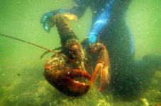 Sweden Wants To Ban American Lobsters From Europe