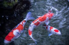 John's Pond In Mashpee Is Turning Into A Koi Pond