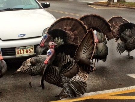 falmouth turkeys
